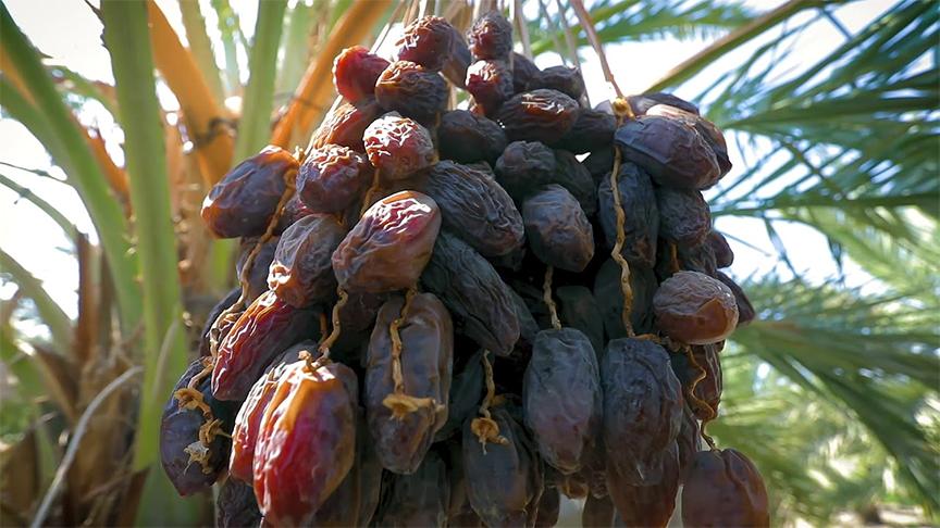 cây chà là được trồng tại vườn ở những quốc gia nổi tiếng về trồng, canh tác, chế biến và xuất khẩu chà là như Ai Cập, Tunisia