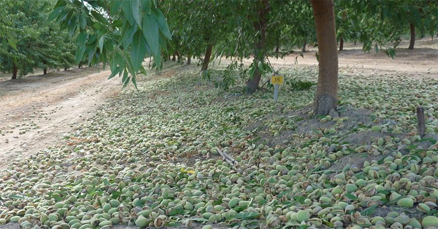 chúng tôi chọn đúng thời điểm thu hoạch từ các vườn, trang trại trồng hạnh nhân. Tại các quốc gia chuyên trồng và canh tác loại cây này. Vào đúng vụ mùa thu hoạch sẽ cho ra loại hạt tươi mới
