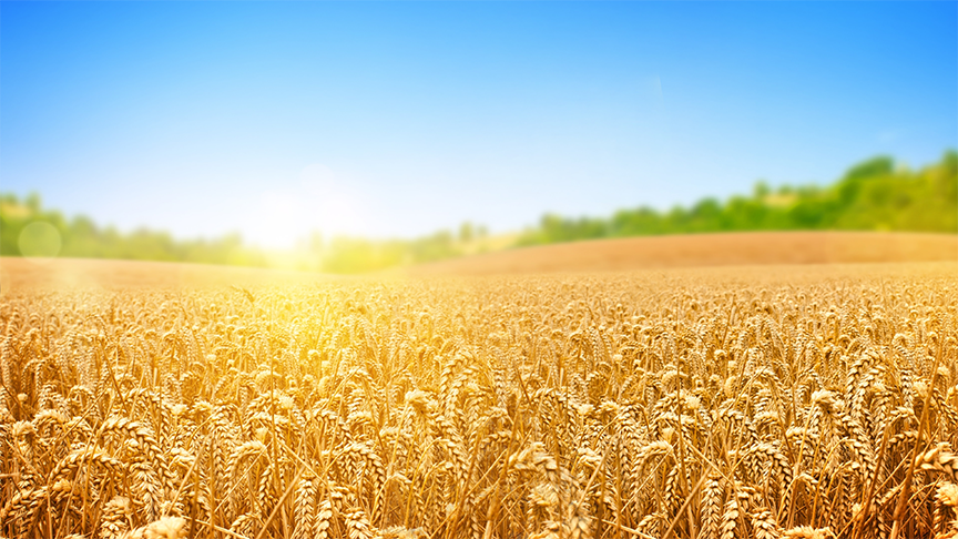 cánh đồng yến mạch đang chín vàng, trải dài. sắp vào cụ mùa thua hoạch tại Mỹ