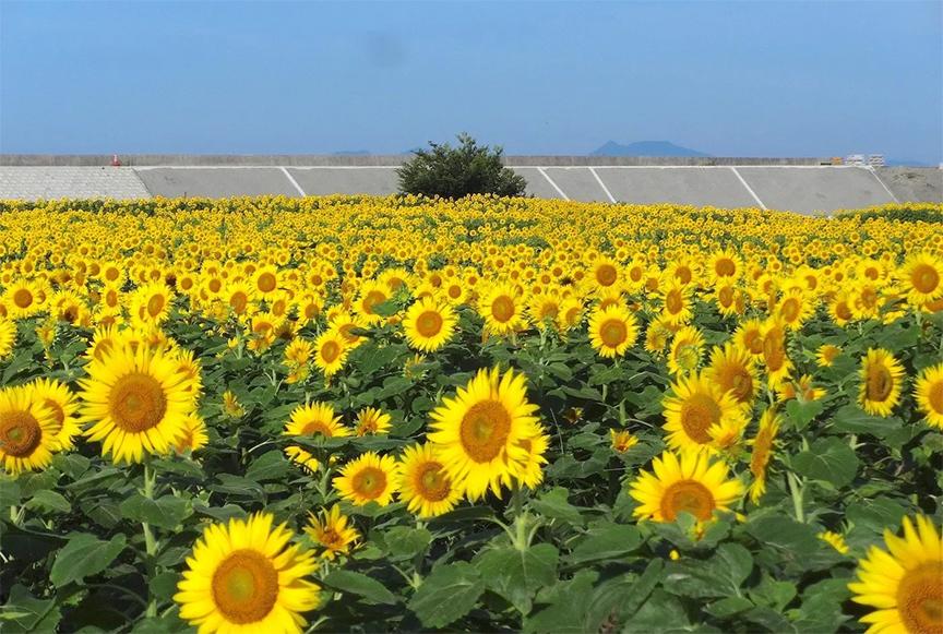 cánh đồng hoa hướng dương, cây hướng dương được trồng để lấy hạt