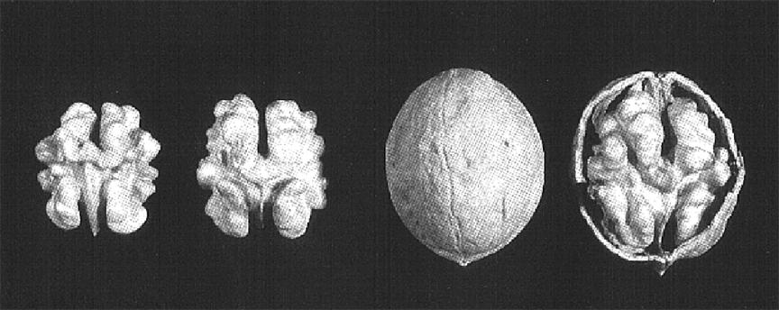 hạt óc chó Forde, 1 trong những giống quả óc chó tại Mỹ