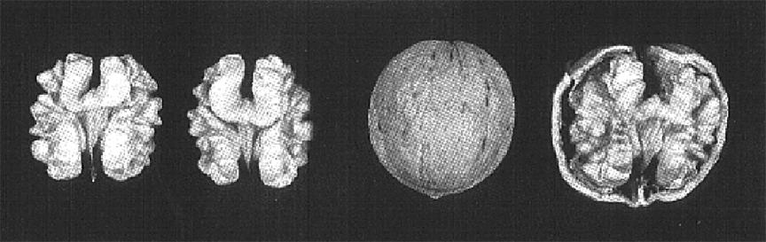 hạt óc chó Sexton, 1 trong những giống quả óc chó được trồng tại nước Mỹ